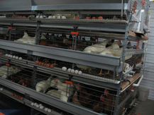Cage Free, going green, free run, cagefree, freerun, eggs, battery cages, bill lauto, gtg, goingtruegreen, food labels, comfort coop, nest laid, furnished cages, organic, no gmos, gmo, enriched cages, free range
