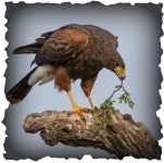 Harris Hawk, Hawk, Harris's Hawk, birds, saving birds, nature, going green, gtg, goingtruegreen, Ivanpah, Solar, solar electric, Ivanpah solar plant